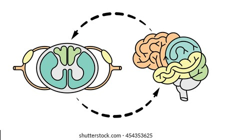 Isolated vector brain and spinal cord. Central nervous system. CNS logo, human brain for medical design.