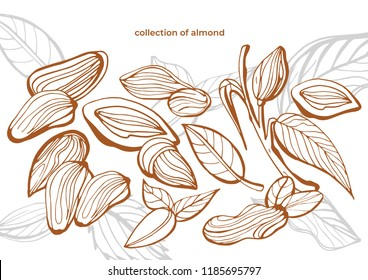 Isolated vector collection of almond on a white background. Hand drawn almonds set: Branches with leaves and immature fruit. Blossoming almond. Nuts. Vintag
