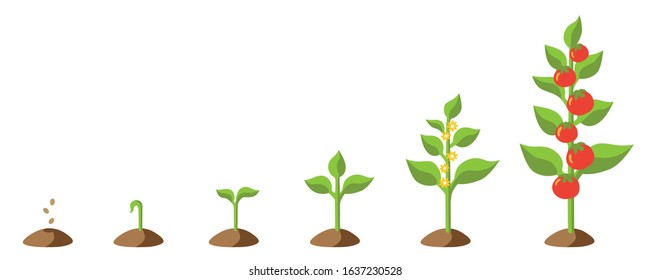 Isolated Vector graphic illustration of a stylized tomato plant growing up from seed, then blooming and carrying tomatoes including a set of different stages of growth