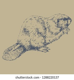 Isolated vector illustration of a beaver. (Castor). Hand drawn linear sketch. Vintage style.