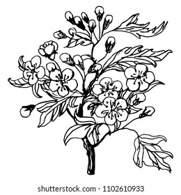 Isolated vector illustration of a blooming hawthorn branch with leaves, flowers and buds. Hand drawn linear ink sketch. Black silhouette on white background.