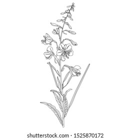 Isolated vector illustration. Branch of fireweed flower. Rosebay willowherb plant. (Onagraceae). (Epilobium angustifolium). (Chamaenerion angustifolium). Black and white linear silhouette.