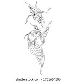 Isolated vector illustration. Branch of Lady's slipper flower. Wild orchid. Cypripedium calceolus. Black and white linear silhouette.