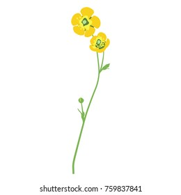Isolated vector illustration of a buttercup flower.