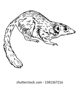 Isolated vector illustration. Common tree shrew. Tupaia glis. Hand drawn linear sketch. Black silhouette on white background.