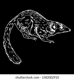 Isolated vector illustration. Common tree shrew. Tupaia glis. Hand drawn linear sketch. White silhouette on black background.