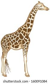 Isolated Vector Illustration of a giraffe