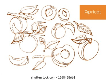 Isolated vector set of apricot, leaves and apricot branches. Outlines of apricot on a white background.