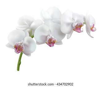 Isolated white orchid flowers. Stem of blooming Phalaenopsis. Realistic vector illustration.