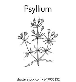 Ispaghula (plantago psyllium), medicinal plant. Hand drawn botanical vector illustration