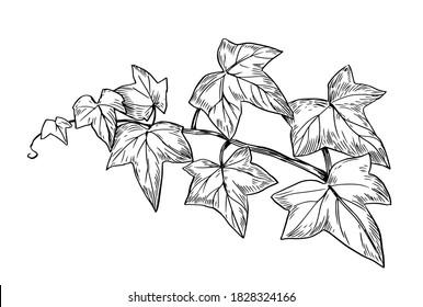 Ivy branch. Vector line sketch