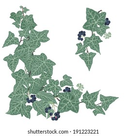 Ivy- Hedera helix Hand drawn vector illustration of intertwined ivy branches with lacy leaves and berries
