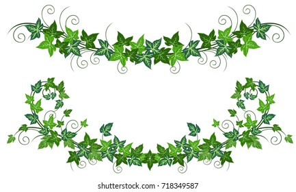 Ivy vines (Hedera helix). Realistic vector illustrations of two ivy vines isolated on white background for floral decorative design.