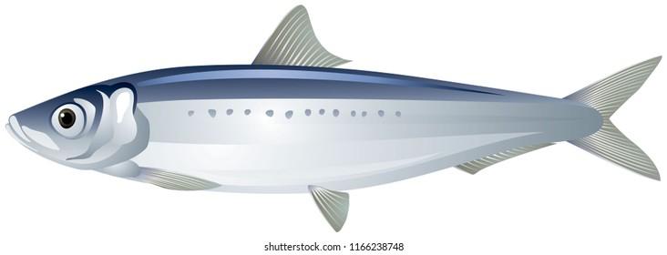 Iwashi Sardine also known as Pacific Sardine, Japanese Sardine or Iwashi Herring fish realistic vector illustration on a white background
