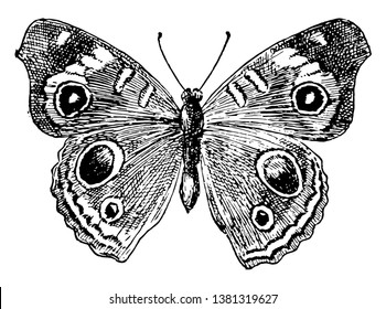 J Coenia Butterfly which Common Buckeye butterfly, vintage line drawing or engraving illustration.