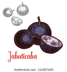 Jabuticaba fruit of exotic Brazilian tree sketch. Purple berry of ripe jaboticaba isolated icon for natural juice, tropical food ingredient, healthy vegetarian jam and dessert design