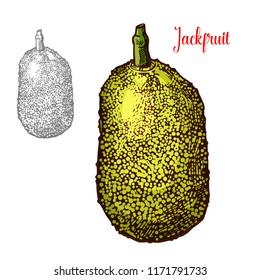 Jackfruit exotic fresh fruit vector design. Fresh exotic fruit jackfruit hand drawn image. Exotic tropical fruit design isolated on white background. Delicious exotic fruit jackfruit