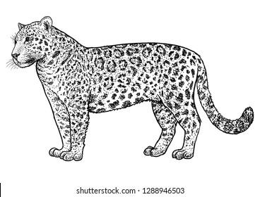 Jaguar illustration, drawing, engraving, ink, line art, vector
