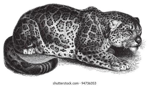 Line Drawing Jaguar : Jaguar animal line drawing images stock photos vectors
