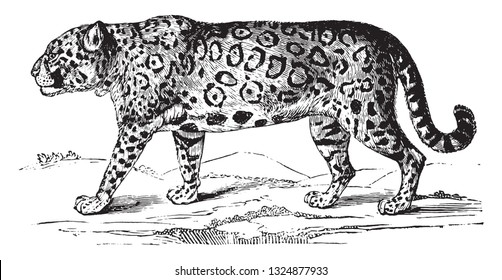 Jaguar, vintage engraved illustration. Zoology Elements from Paul Gervais.