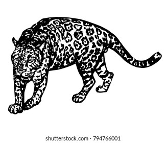 Jaguar yawning ink vector illustration. Big cat from South America