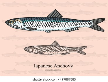 Japanese Anchovy. Vector illustration with refined details and optimized stroke that allows the image to be used in small sizes (in packaging design, decoration, educational graphics, etc.)