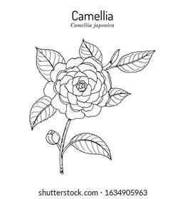 Japanese camellia (Camellia japonica), ornamental and medicinal plant. Hand drawn botanical vector illustration