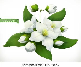 Jasmine. 3d realistic vector icon
