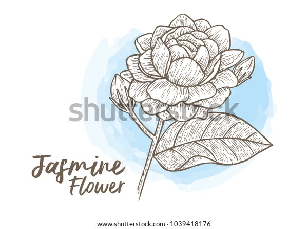 Jasmine flower hand drawn