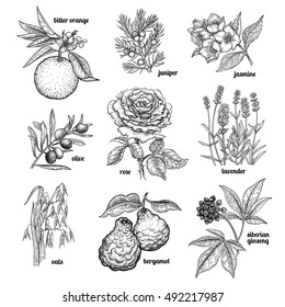 Jasmine, flower rose, lavender, juniper, bergamot, oats, olive tree branch, orange fruit, Siberian ginseng. Set plants for cosmetics, medicine, cooking. Vector illustration. Vintage engraving style.