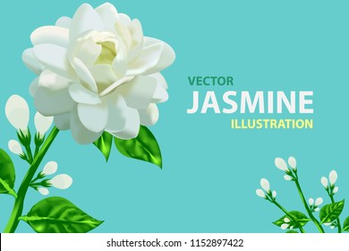 Jasmine flower vector illustration