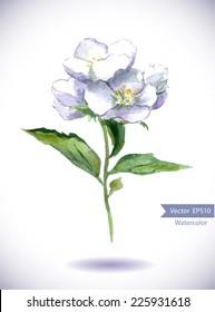 Jasmine flower. Water color
