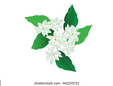 jasmine flowers  with green leaves isolated picture vector illustration.