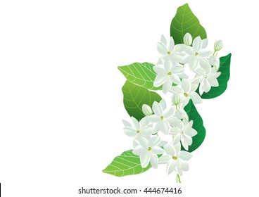 Jasmine flowers with green leaves on white background for object