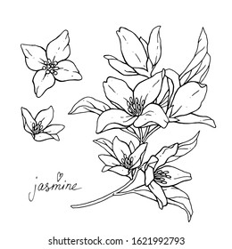Jasmine flowers are isolated on a white background. Branch with buds and leaves vector illustration hand work. Drawing black pen.