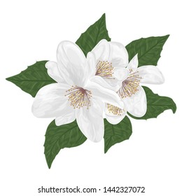 Jasmine flowers is painted in watercolor. Vector illustration.