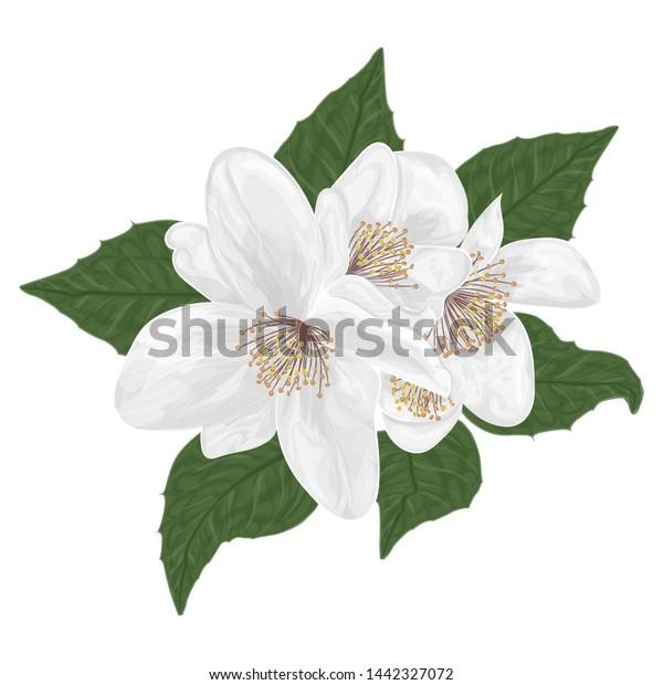 Jasmine flowers is painted in watercolor. Vector illustration.