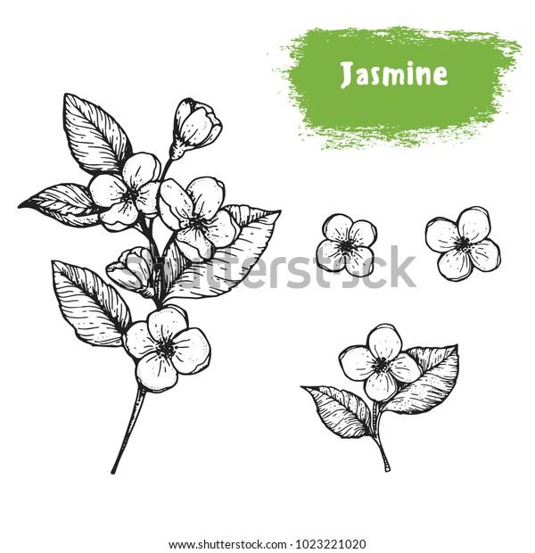 Жасмин нарисованный эскиз. Урожай векторная иллюстрация. Этикетка или значок для дизайна упаковки. Ретро стиль изображения.