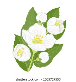 Jasmine isolated on white background. A branch of blooming jasmine with buds and green leaves. Vector illustration of white fragrant flower in cartoon flat style.