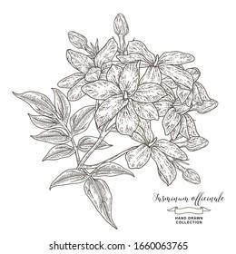 Jasmine or Jasminum officinale flowers. Hand drawn jasmine branch isolated on white. Vector illustration botanical. Engraving style.