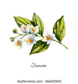 jasmine. watercolor illustration