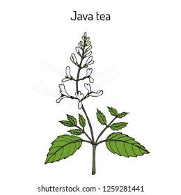 Java tea (Orthosiphon stamineus), medicinal plant. Hand drawn botanical vector illustration