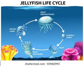 Water cycle diagram images stock photos vectors shutterstock jellyfish life cycle diagram illustration ccuart Gallery