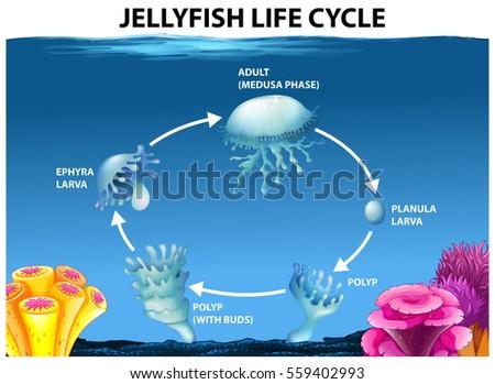 Jellyfish Life Cycle Diagram Illustration Stock Vector Royalty Free