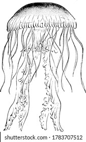Jellyfish are marine animal of the phylum Cnidarian, they are a monophyletic clade and float freely through the world's oceans, vintage line drawing or engraving illustration.