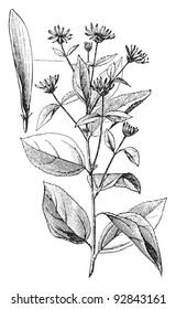 Jerusalem artichoke (Helianthus tuberosus) / vintage illustration from Meyers Konversations-Lexikon 1897