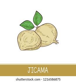 Jicama. Vegetable. Root, sheet. Sketch. Color.