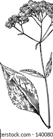 Joe-Pye-weed is an herbaceous perennial plant in the Compositae family. It is native to eastern and central North America, also known as sweet Joe-Pye weed, gravel root, or trumpet weed, vintage