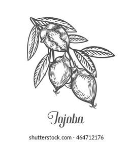 Jojoba nut, seed, fruit, branch, leaf, fruit. Organic oil nutrition healthy food. Engraved hand drawn jojoba vintage retro vector jojoba illustration. Black jojoba on white background