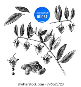 Jojoba nuts, branches and fruits. Hand drawn cosmetics and medical plant. Vector illustration